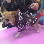 Weiß Braun Gestreift T-Shirt für Hunde mit Rucksack