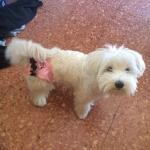 Rosa Höschen für Hunde mit Ruche und Klettverschluss
