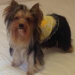 Gelb Gestreift Trägershirt mit Küken für kleine Hunde