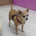 Pettorina Rossa per Cane regolabile sotto la Pancia