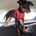 Set Roten Geschirr + Leine für Hunde