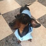 Blau Sweatshirt für Dackel