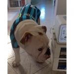 Hunde T-Shirt Inter Milan