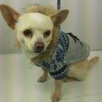 Strickjacke für kleine Hunde in Grau und Blau mit Kapuze