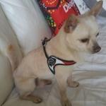 Hundegeschirr Italien-Flagge mit Verschlussklammern