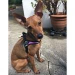Modernen Hundegeschirr Rosa Camouflage einstellbar unter Bauch