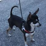 Brustgeschirr für kleine Hunde mit Kordelzug Italien-Flagge