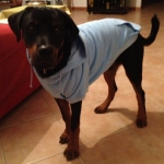 Light Blue Hoodie for Big Dogs