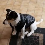 Chaqueta Negra para perros pequeños con Abertura en la parte trasera