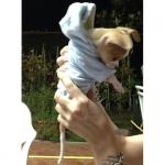 Velvety Light Blue Hoodies for Small Dogs