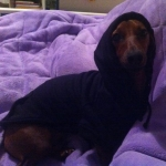 Black Sweatshirt for Dachshunds