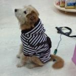 Maglietta per Cani Bianca e Marrone con Zainetto