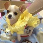 Tee Shirt pour Petits Chiens Lilly Jaune avec Dentelle