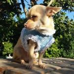 Pettorina Celeste per Cani Piccoli con Merletto