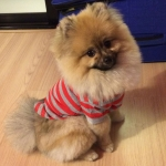 Red and Gray Striped Dog Polo T-Shirt