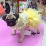 Ceremony Dress in Yellow for Small Dogs and Chihuahuas