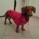Red Sweatshirt for Dachshund