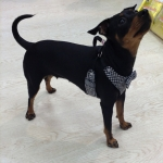 Pied-de-Poule Harness for Small Dogs in Black