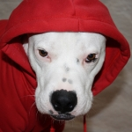 Red Sweatshirt for Big Dogs