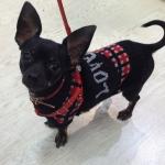 Jersey a la moda para perro, modelo Lovely