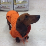 Orange Sweatshirt for Dachshund