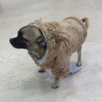 Coat with Fur for Dogs in Dove Grey