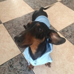 Light Blue Sweatshirt for Dachshunds