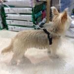 Pettorina Nera per Cane Piccolo regolabile sotto la Pancia
