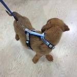 Pettorina ad H per Cani della Lazio
