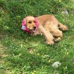 Fascia Copriorecchie Impermeabile per Cani in Rosa