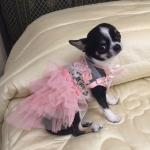 Vestito da Cerimonia Rosa per Cani Piccoli e Chihuahua