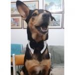 Corbata de lazo para Perro Grande