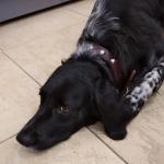 Collare per Cani in Cuoio con Borchie - Marrone