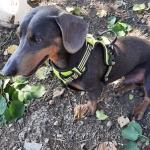 Pettorina Imbottita per Cani Medi e Grandi in Giallo