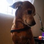 Pettorina economica Evolution per Cani Piccoli in Arancione
