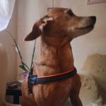 Arnés Económico Evolution para Perros Pequeños en Naranja