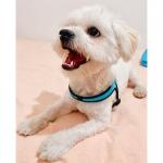 Arnés moderno Azul para Perro ajustable Bajo el Vientre
