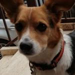Nylon Dog Collar AS Roma Football Team