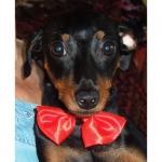 Farfallino Rosso per Cani piccoli